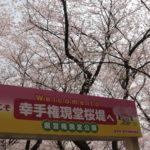 埼玉の人気お花見スポット桜まつり(権現堂)に子供たち連れて行って来た行き方や穴場スポット紹介